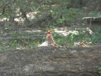 Northern cardinal, young male, 3 in series, near Headquarters (Jul 2020)