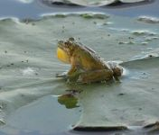Northern cricket frog on lily pad, Unexpected Wildlife Refuge photo