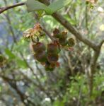 Northern highbush blueberry, Unexpected Wildlife Refuge photo
