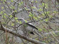 Northern mockingbird among dogwood berries (Mar 2020)