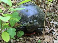 Northern red-bellied turtle (Aug 2016)