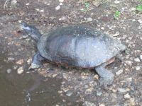 Northern red-bellied turtle after laying eggs (notice soil on rear end), photo by Dave Sauder (Jun 2020)
