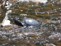 Northern red-bellied turtle, Unexpected Wildlife Refuge photo