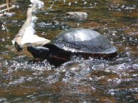 Northern red-bellied turtle in Miller Pond spillway (Jul 2020)