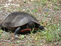 Northern red-bellied turtle, probably looking for nesting site near Headquarters, 1 (Jun 2020)