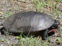 Northern red-bellied turtle, probably looking for nesting site near Headquarters, 2 (Jun 2020)