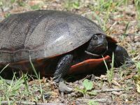 Northern red-bellied turtle, probably looking for nesting site near Headquarters, 3 (Jun 2020)