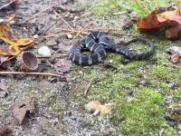 Baby northern water snake, Unexpected Wildlife Refuge photo