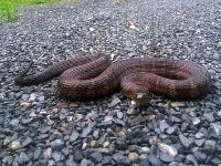 Northern water snake on driveway, Unexpected Wildlife Refuge photo