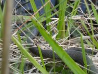Northern water snake, Unexpected Wildlife Refuge photo