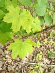 Norway maple near cabin (May 2019)