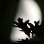 Oak leaves silhouetted by moon, Unexpected Wildlife Refuge photo