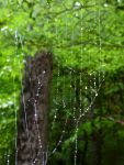 Orb-weaver spider web in the rain (Aug 2017)