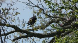 Osprey with fish, Unexpected Wildlife Refuge photo