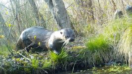 North American river otter, Unexpected Wildlife Refuge trail camera photo