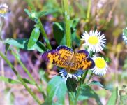 Pearl crescent butterfly (Jul 2018)