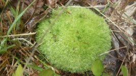 Pincushion moss, Unexpected Wildlife Refuge photo