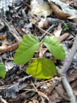 Poison ivy, Unexpected Wildlife Refuge photo