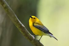Prothonotary warbler near main pond, photo by Leor Veleanu (May 2020)