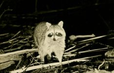 Raccoon at Otter Dam (1966)