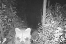 Raccoon babies, Unexpected Wildlife Refuge trail camera photo