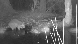 Raccoon series at night on 16th near Wild Goose Blind, 1, trail camera photos (May 2020)