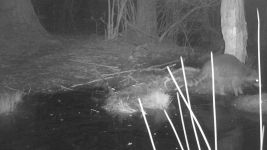 Raccoon series at night on 16th near Wild Goose Blind, 2, trail camera photos (May 2020)