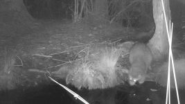 Raccoon series at night on 10th near Wild Goose Blind, 1, trail camera photos (Jun 2020)