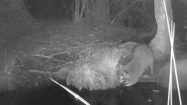 Raccoon series at night on 10th near Wild Goose Blind, 2, trail camera photos (Jun 2020)