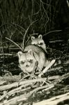 Raccoons at Otter Dam, Unexpected Wildlife Refuge photo