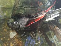 Northern red-bellied turtle (Oct 2016)