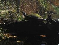 Northern red-bellied turtles on log (Nov 2016)