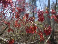 Red maple with samaras (seed pods) near main trail (Apr 2020)