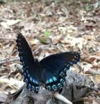 Red-spotted purple butterfly (Sep 2016)