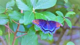 Red-spotted purple butterfly; note damaged wing (Sep 2018)