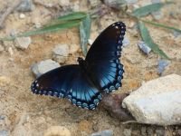 Red-spotted purple, Unexpected Wildlife Refuge photo