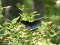 Red-spotted purple butterfly near Stations 1-2 (Jul 2020)