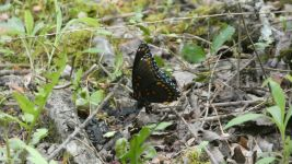 Red-spotted purple butterfly (May 2019)