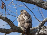Red-tailed hawk in tree near Station 1 (Feb 2020)