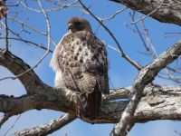 Red-tailed hawk, Unexpected Wildlife Refuge photo