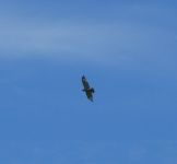 Red-tailed hawk flying over one of the Refuge fields (May 2019)