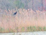 Male red-winged blackbird, Unexpected Wildlife Refuge photo