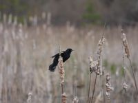 Red-winged blackbird male on cattail in Miller Pond (Apr 2020)