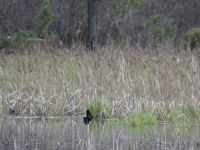 Red-winged blackbird male display sequence in Miller Pond, 2 (Apr 2020)