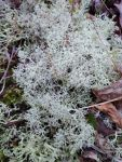 Reindeer lichen along trail near main pond, Unexpected Wildlife Refuge photo