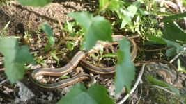 Ribbon snake, Unexpected Wildlife Refuge photo