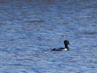 Male ring-necked duck in main pond, Unexpected Wildlife Refuge photo