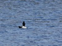 Male ring-necked duck on main pond, Unexpected Wildlife Refuge photo
