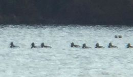 Ring-necked ducks in main pond, Unexpected Wildlife Refuge photo