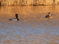 Ring-necked ducks, Unexpected Wildlife Refuge photo